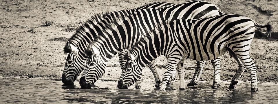 zebra-3044577_960_720a