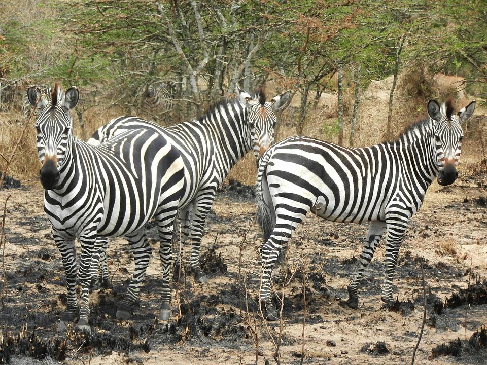 zebras-1536871_960_720